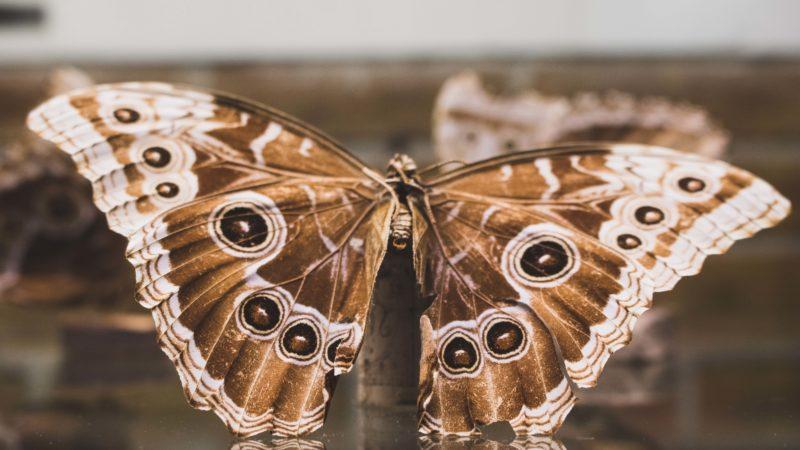 toter Schmetterling